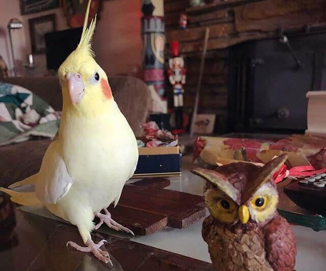 Sultan Papağanı Fiyatları