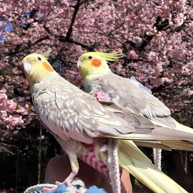 sultan papağanları